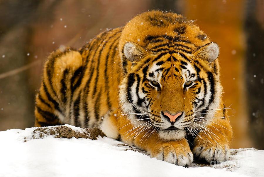 Amur Photograph - Crouching Tiger by Kristin Yata