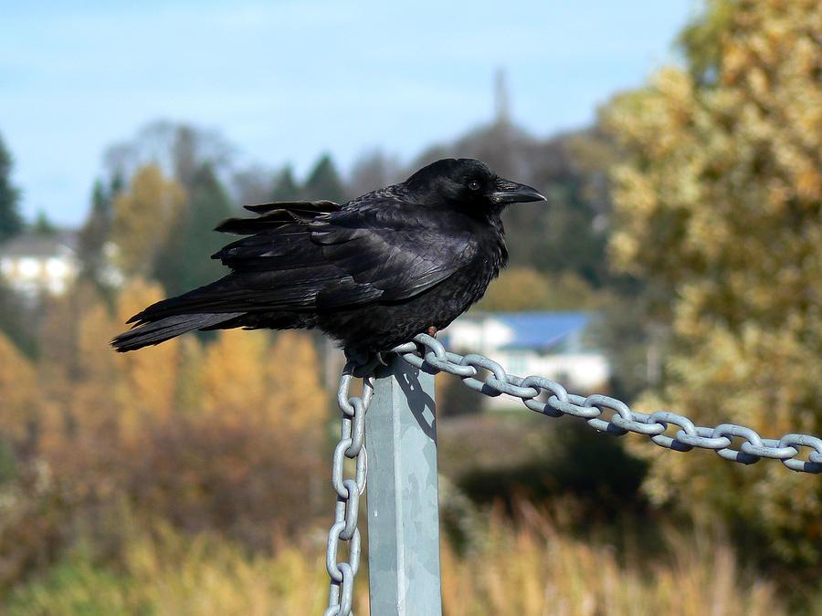 Bird Photograph - Crow by Anastasia Michaels