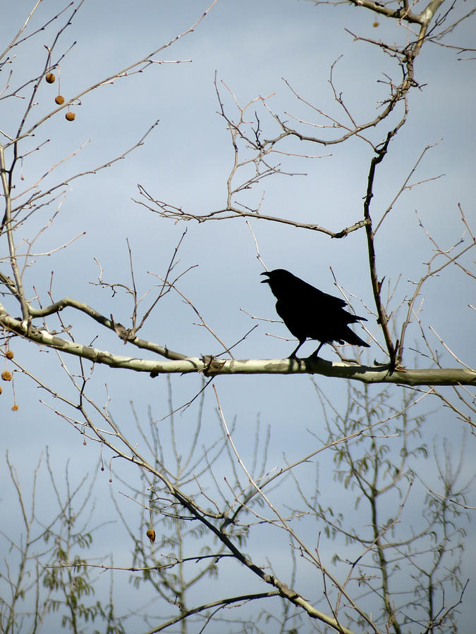 Crow Photograph - Crow In Sycamore by Azthet Photography
