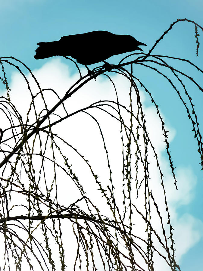 Crow Of Summer Photograph By Chancelrie