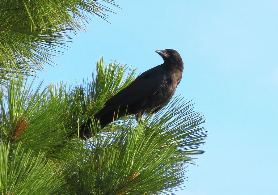 Crow on Pine Branch by Judith Lauter
