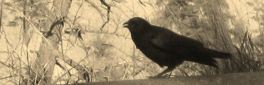 Crow Photograph - Crow by Tracy Fallstrom
