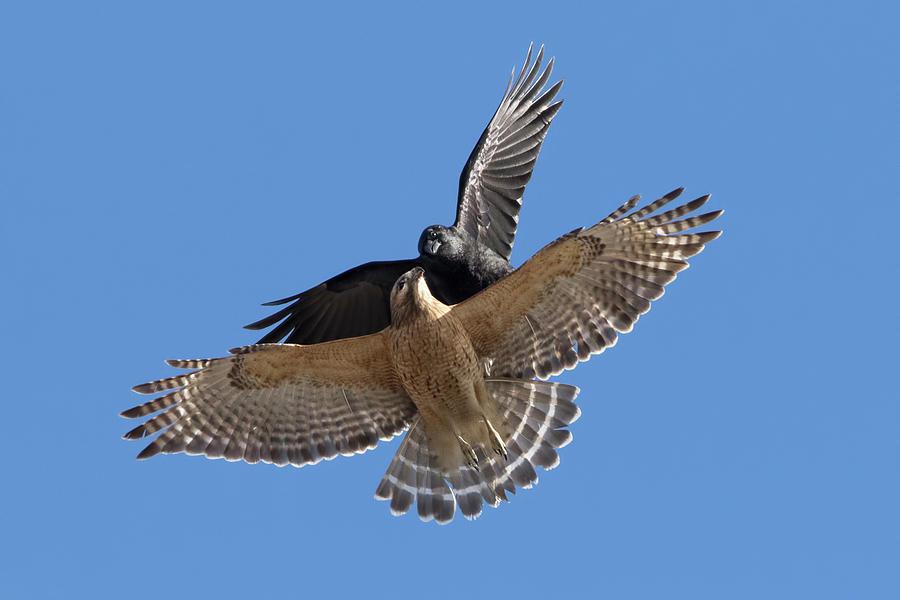 Crow vs Hawk by Mircea Costina Photography