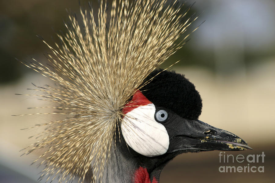 Crowned Photograph - Crown Crane Close Up by Danny Yanai