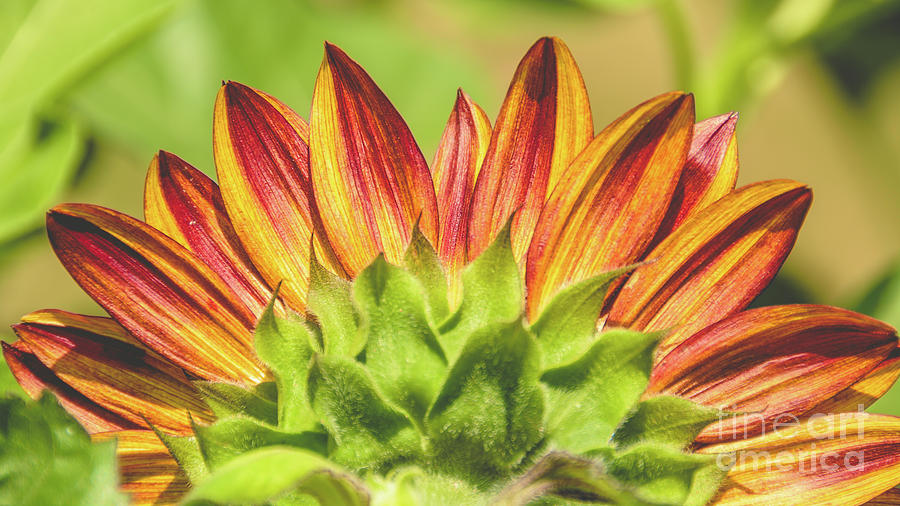 Crown of Sunflower Petals by Cheryl Baxter