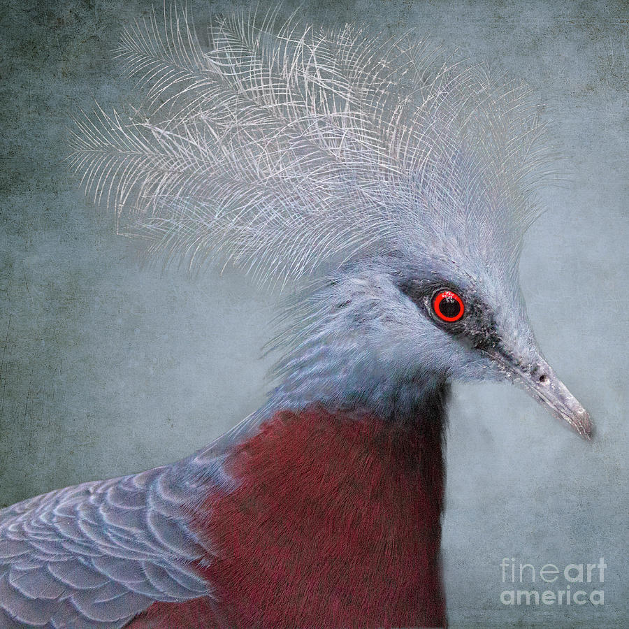 Crowned Pigeon Photograph