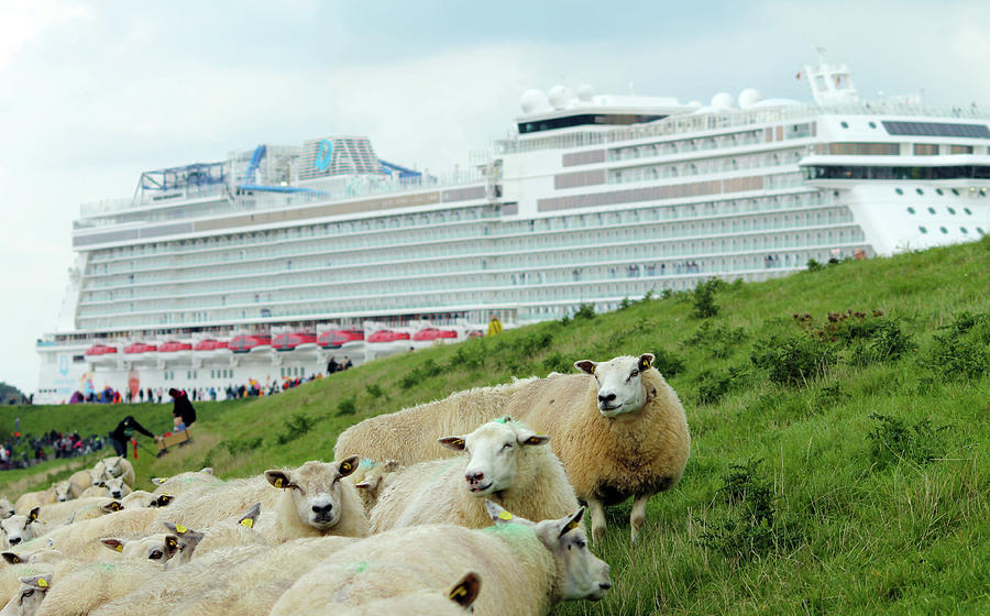 Cruise Liner And Sheeps Photograph