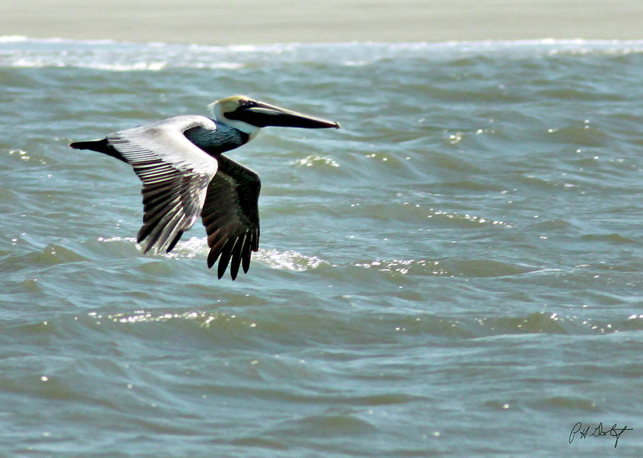 Brown Pelican Photograph - Cruising by Phill Doherty