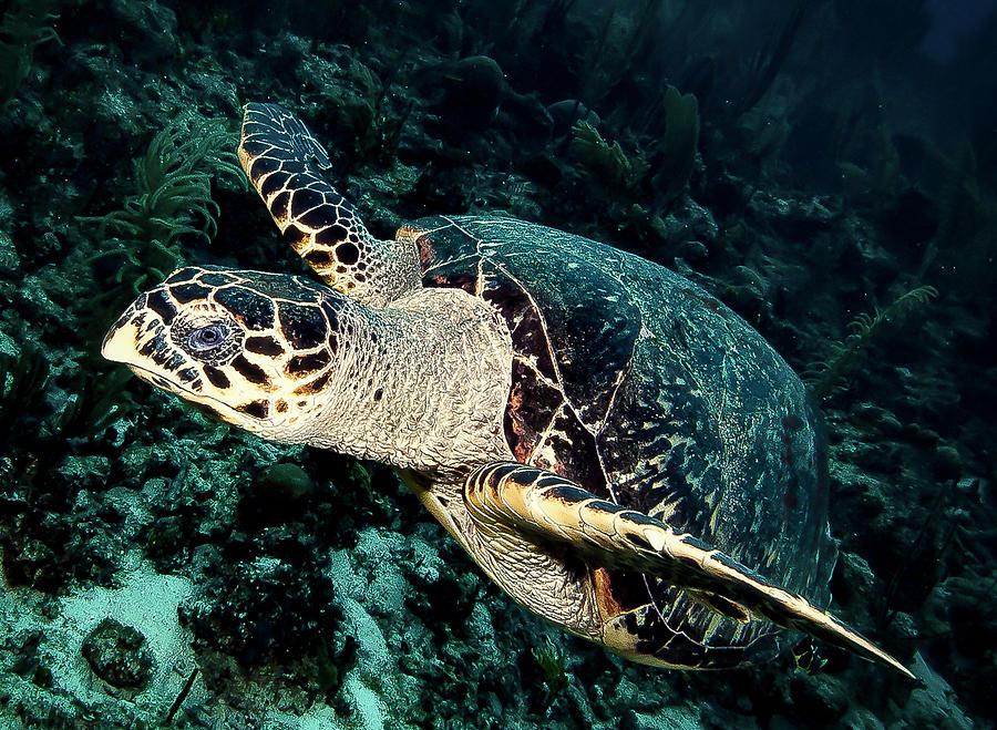 Hawksbill Turtle Photograph - Cruising Turtle by Jean Noren