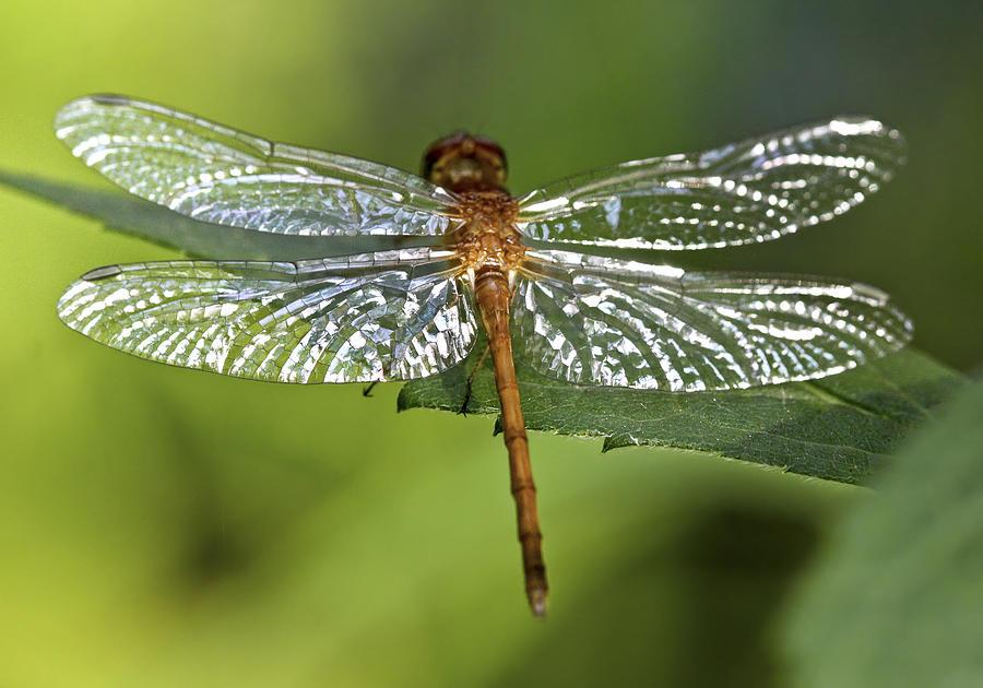 Bug Photograph - Crystal Wings by Evelina Kremsdorf