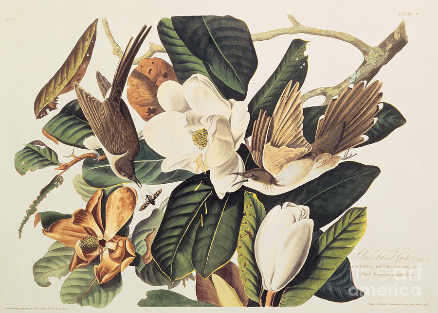 John James Audubon Drawing - Cuckoo On Magnolia Grandiflora by John James Audubon