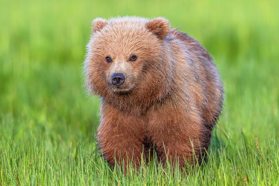 Alaska Photograph - Cuddly Bear Cub by Mike Centioli