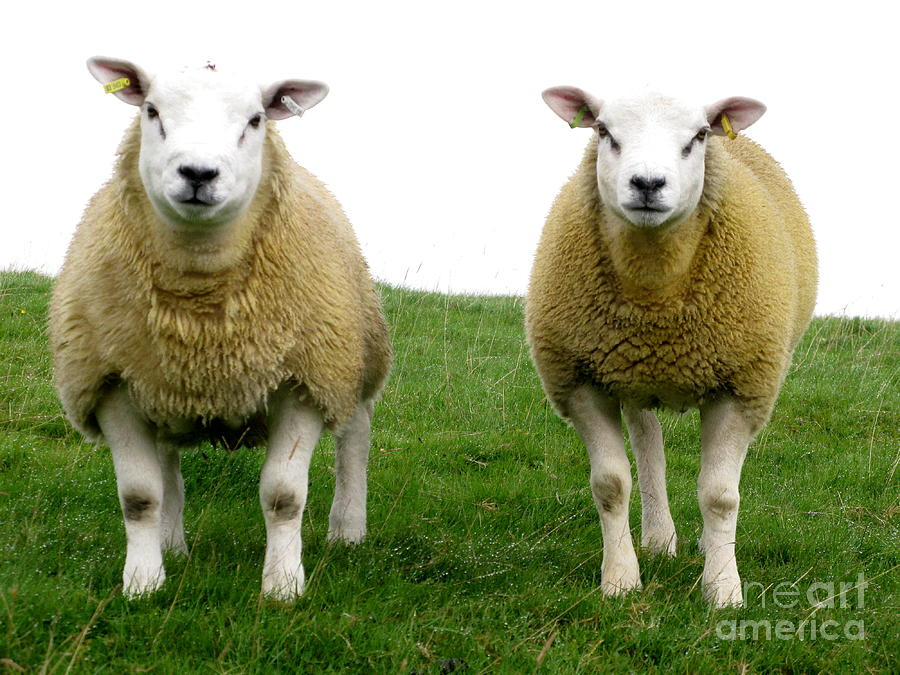 Sheep Photograph - Cumbrian Sheep by Ruth Hallam