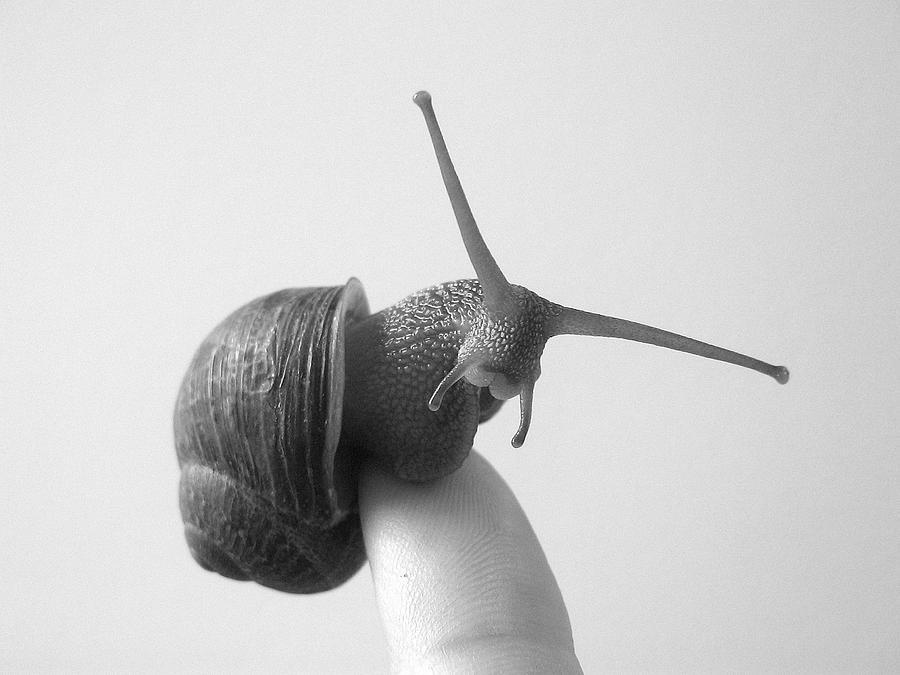 Snail Photograph - Curiosity by Ashley Cauvel
