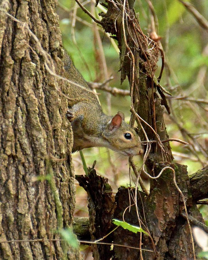 Squirrel Photograph - Curiosity by Carol Bradley