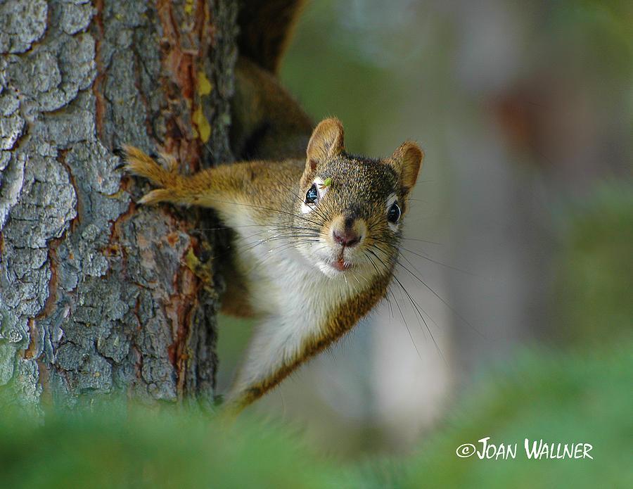 Tree Photograph - Curious Alaskan Red Squirrel by Joan Wallner