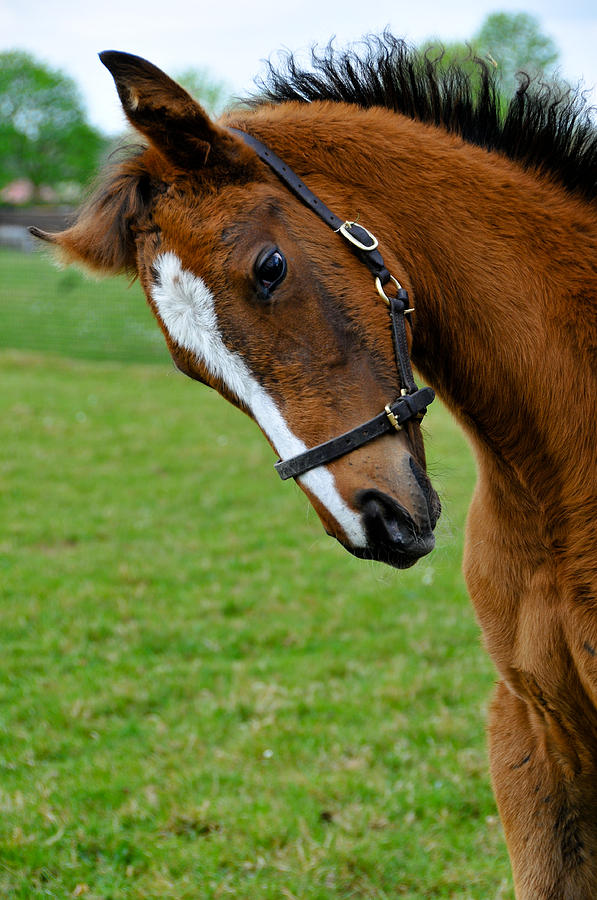 Foal Photograph - Curious Baby by Pat Shawyer