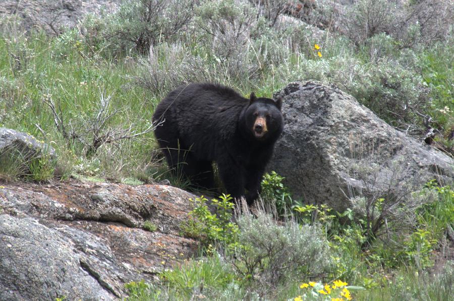 Black Bear Photograph - Curious Black Bear by Frank Madia