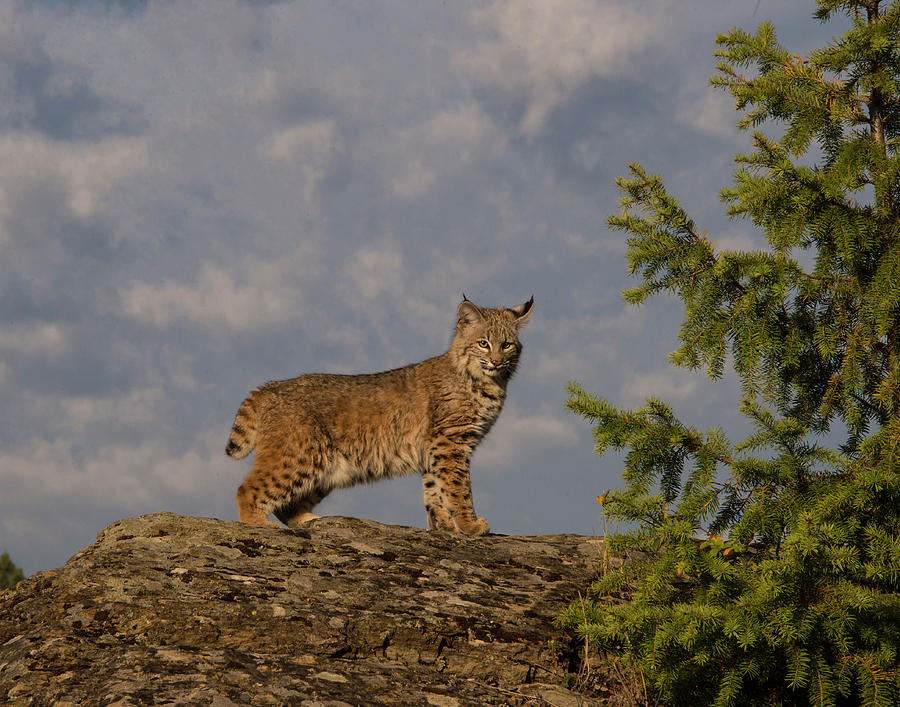 Bobcat Photograph - Curious bobcat by Roy Nierdieck