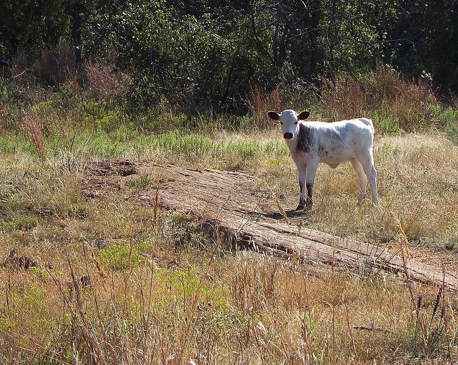 Cass Photograph - Curious Calf by Ian Blake