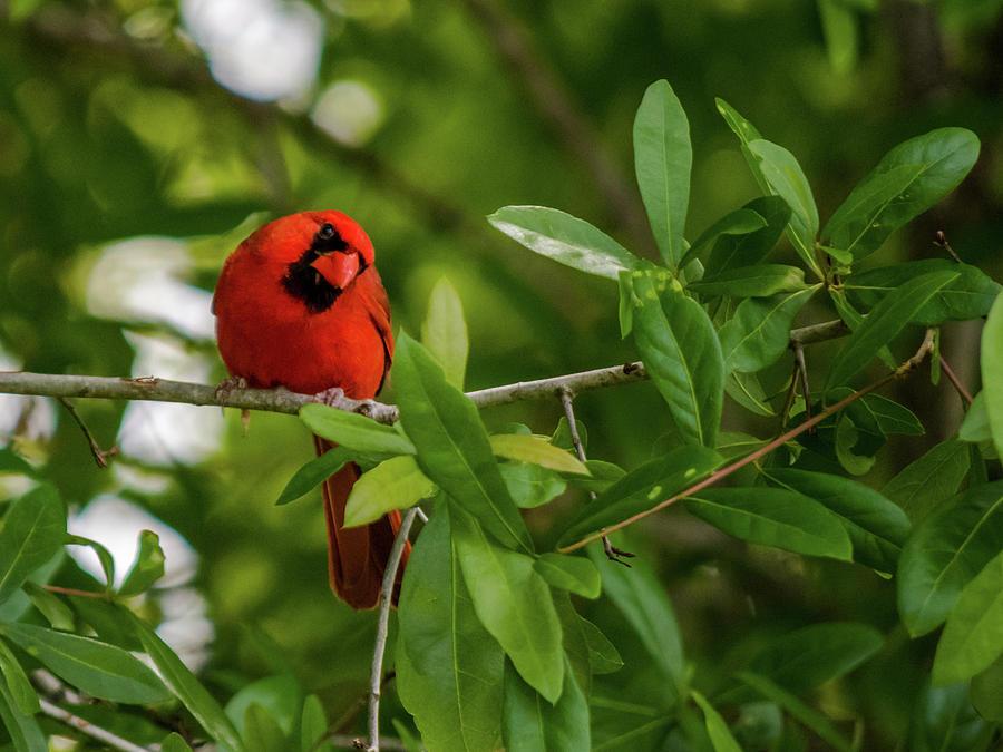 Birds Photograph - Curious Cardinal by Don Miller
