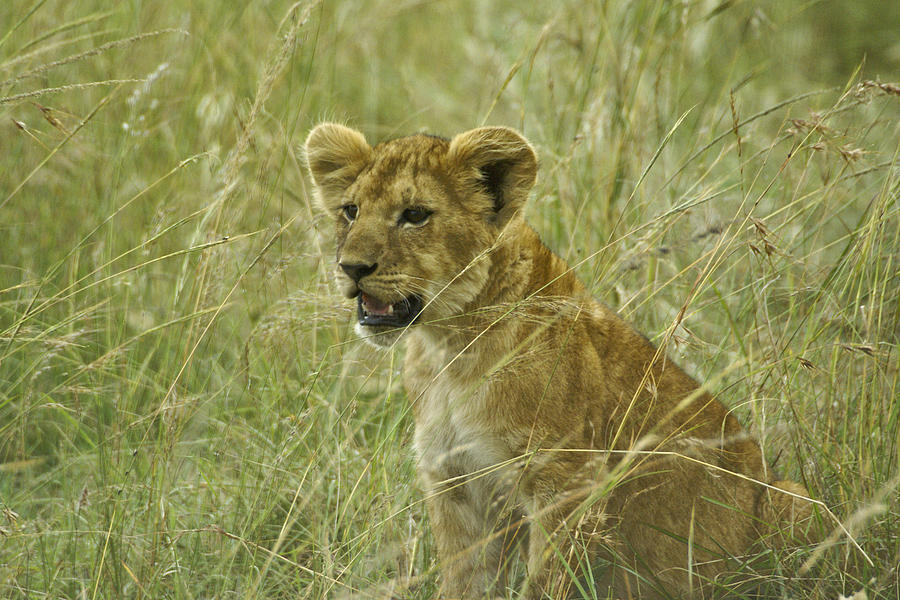 Africa Photograph - Curious Cub by Michele Burgess