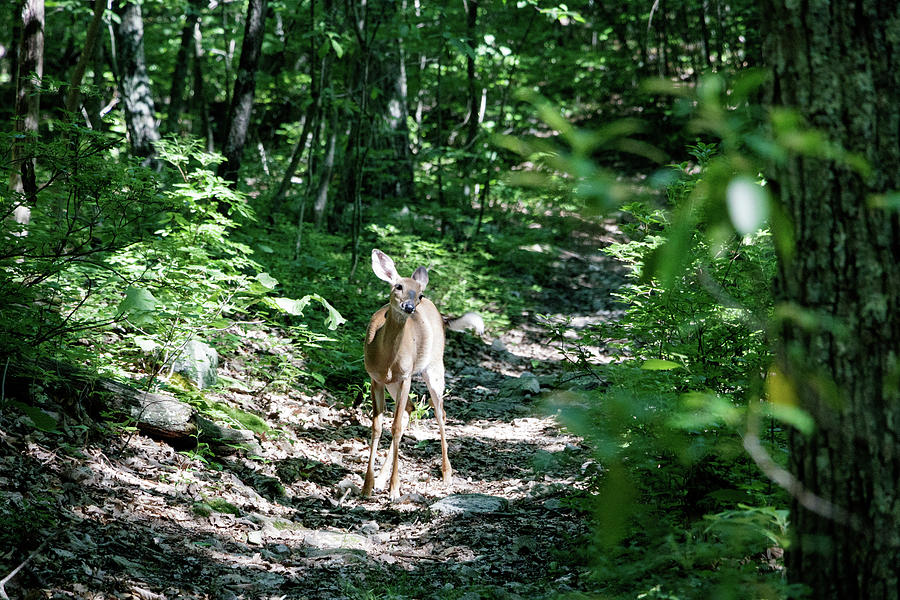 Curious Deer by Natural Vista Photography - Matt Sexton