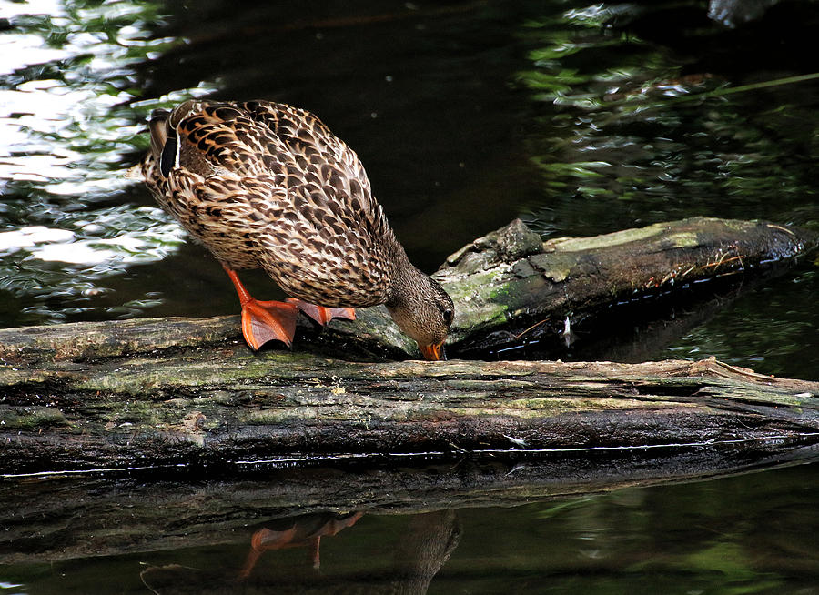 Wildlife Photograph - Curious Duck by William Selander
