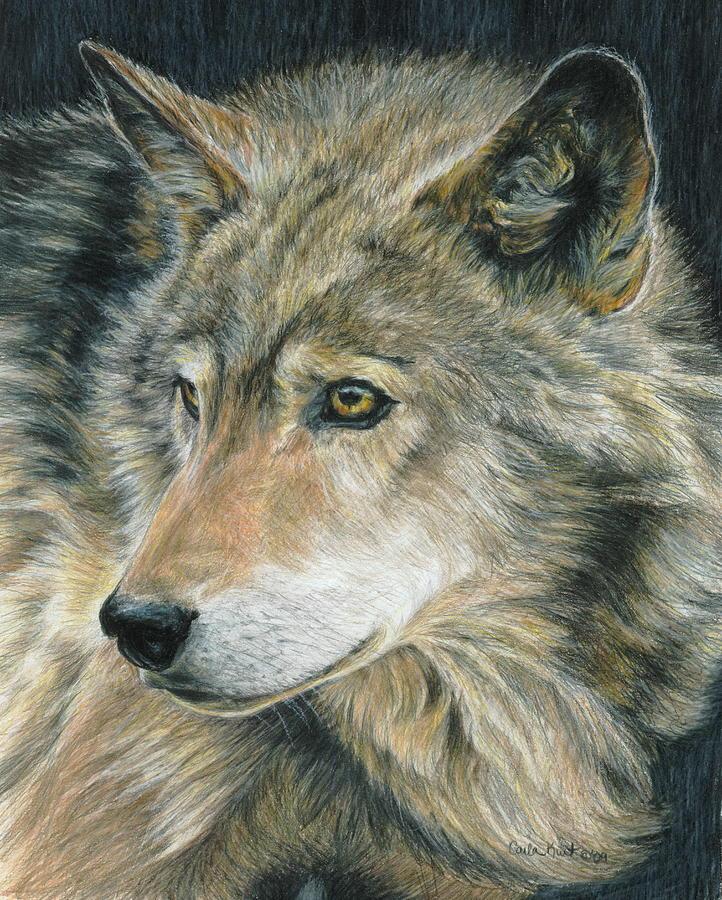 Wolf Drawing - Curious Eyes by Carla Kurt