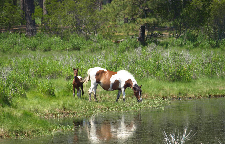 Pinto Painting - Curious Foal by Kim