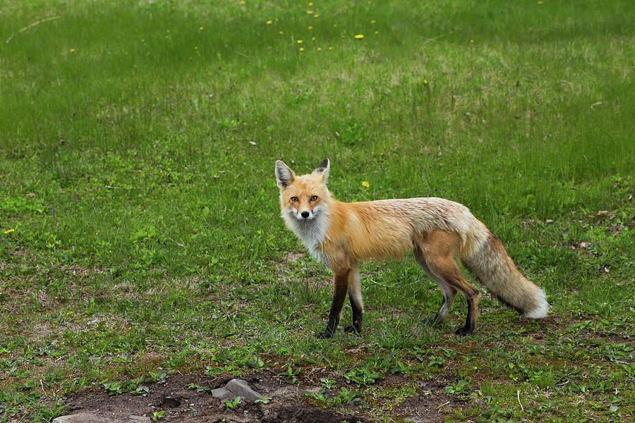 Curious Fox by Linda Ryma