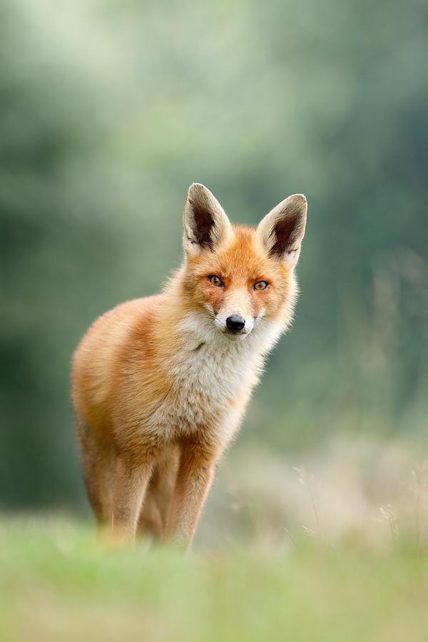 Red Fox Photograph - Curious Fox by Roeselien Raimond