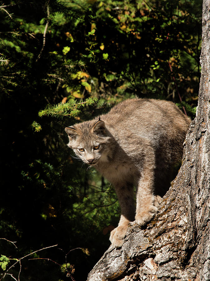 Lynx Photograph - Curious Lynx by Roy Nierdieck