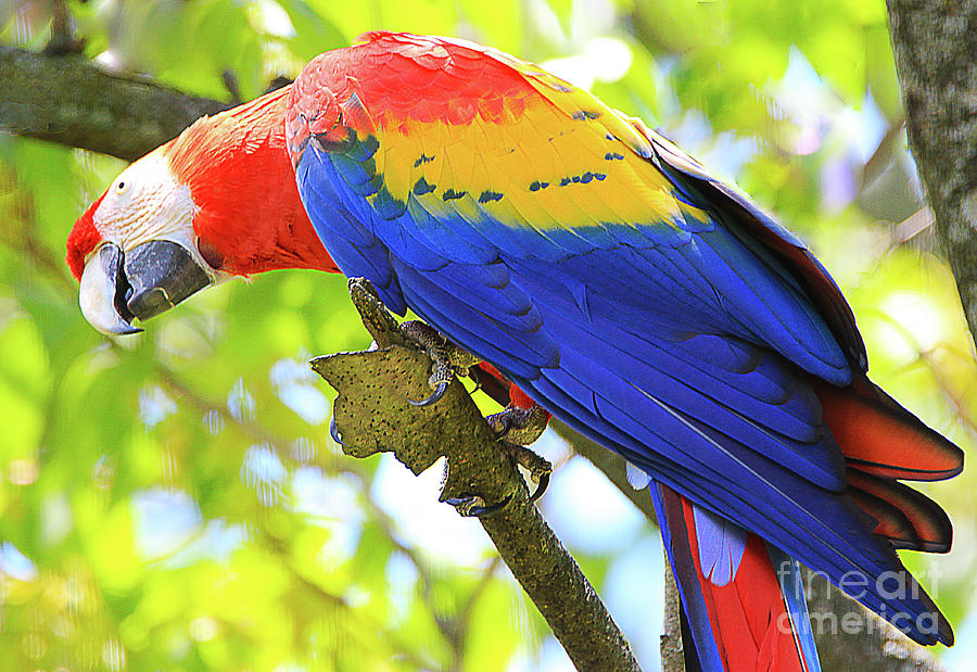 Colorful Bird Photograph - Curious Macaw by Anna Sheradon