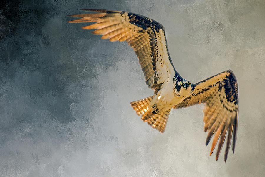 Wildlife Photography Photograph - Curious Osprey by John Bartelt