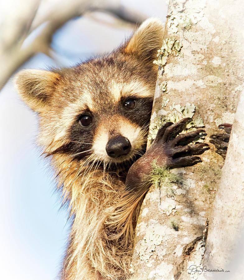 Raccoon Photograph - Curious Raccoon 6054 by Dan Beauvais
