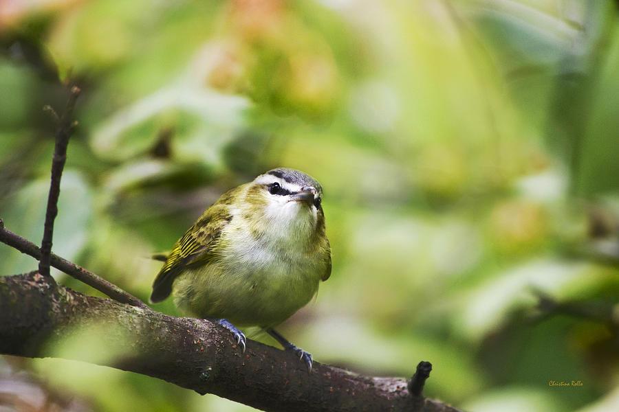 Bird Photograph - Curious Vireo by Christina Rollo