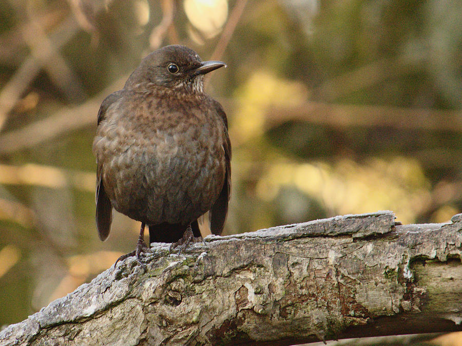 Curious Young Blackbird by Adrian Wale