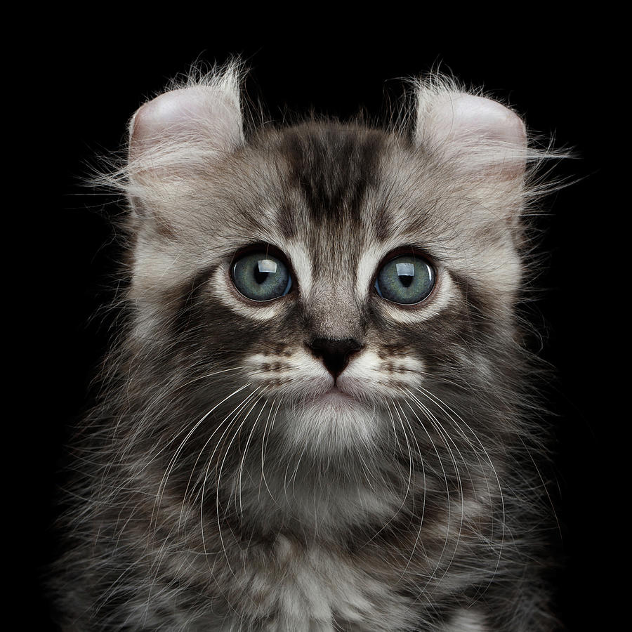 Curl Photograph - Cute American Curl Kitten With Twisted Ears Isolated Black Background by Sergey Taran