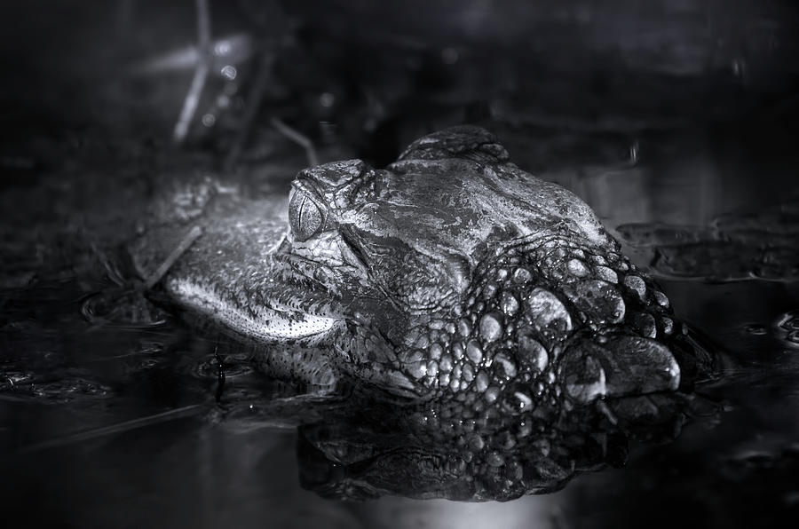 Cute Baby Alligator Photograph By Mark Andrew Thomas