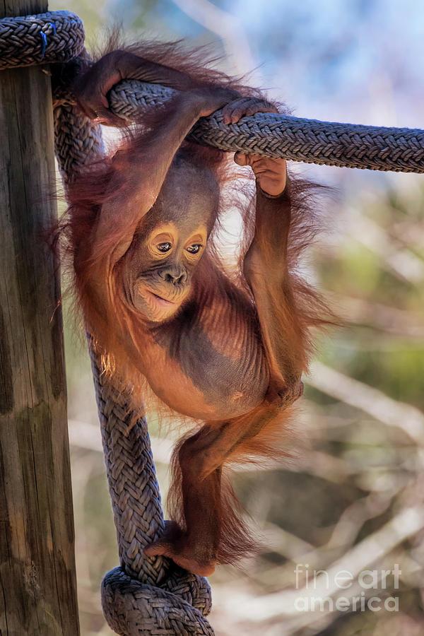 Cute Baby Orangutan by Stephanie Hayes
