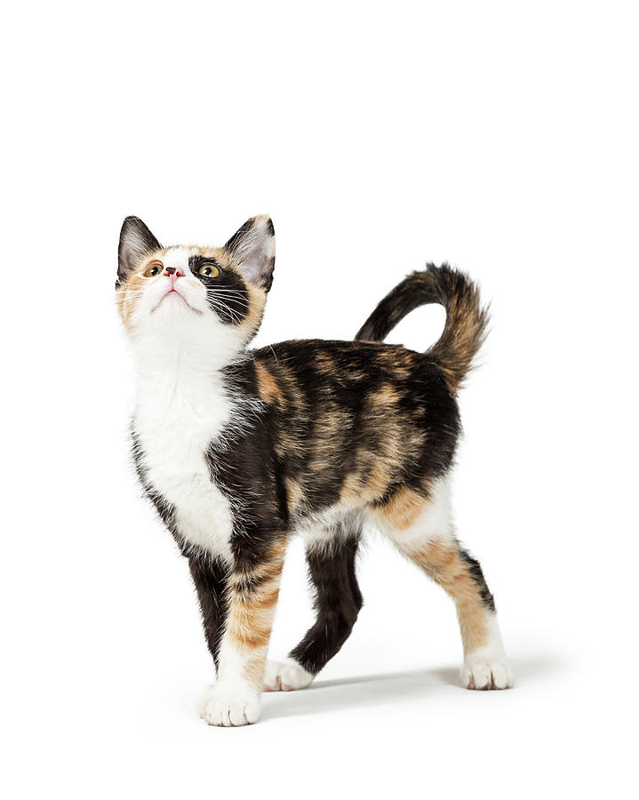 White Background Photograph - Cute Calico Kitten Looking Up Into Copy Space by Susan Schmitz