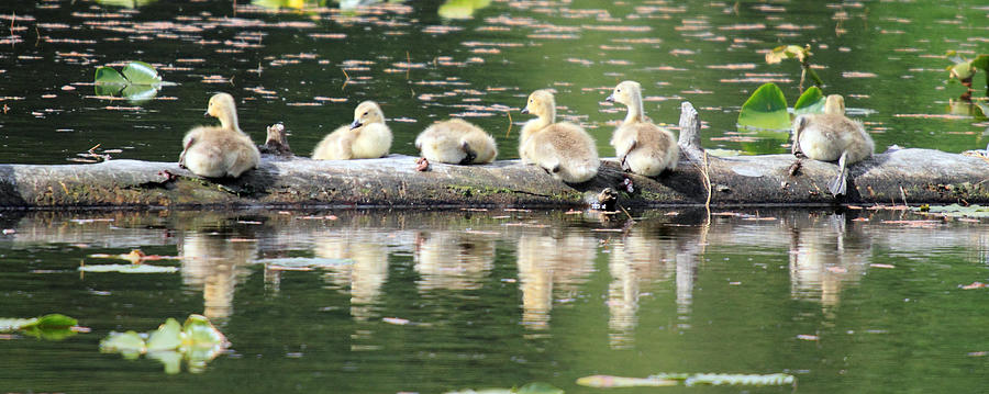 Cute Photograph - Cute Canadian Geese Chicks by Pierre Leclerc Photography