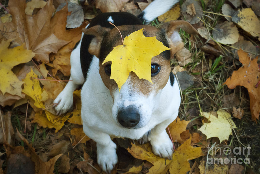 Cute Dog With Yellow Maple Leaf Photograph