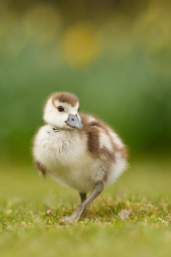 Gosling Photograph - Cute Gosling by Roeselien Raimond