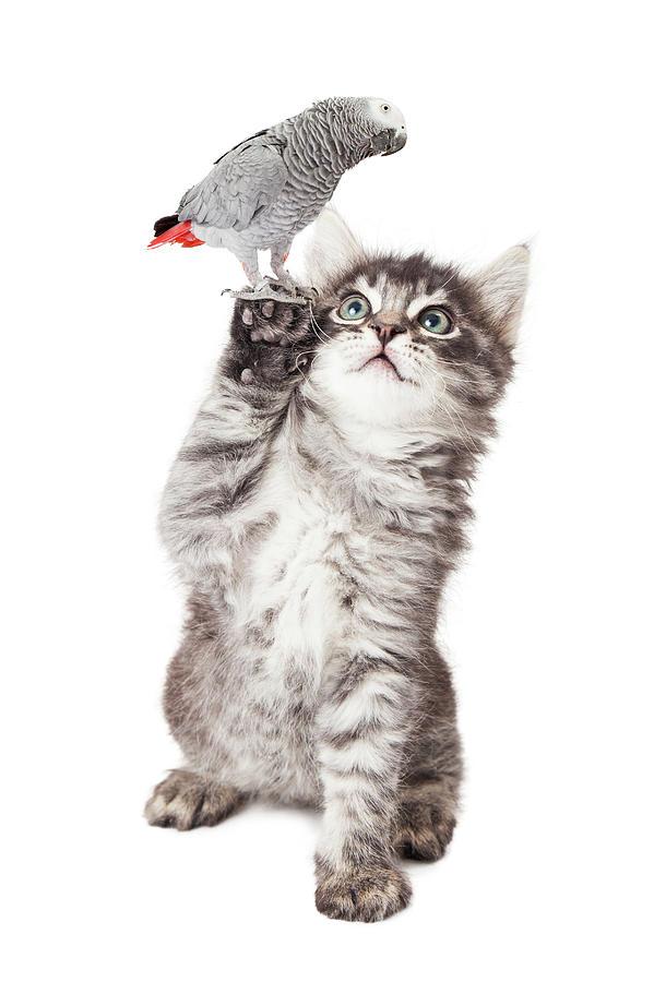 Adorable Photograph - Cute Kitten Holding Parrot Bird by Susan Schmitz