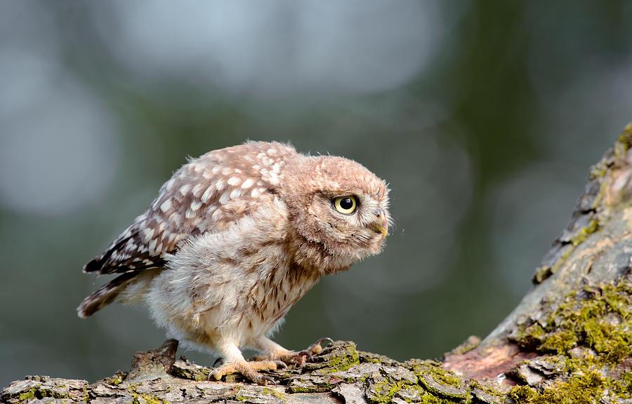 Athene Noctua Photograph - Cute Little Owlet by Roeselien Raimond
