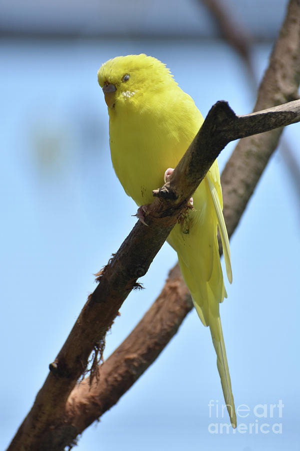 Budgie Photograph -  Cute Little Parakeet Resting On A Branch by DejaVu Designs