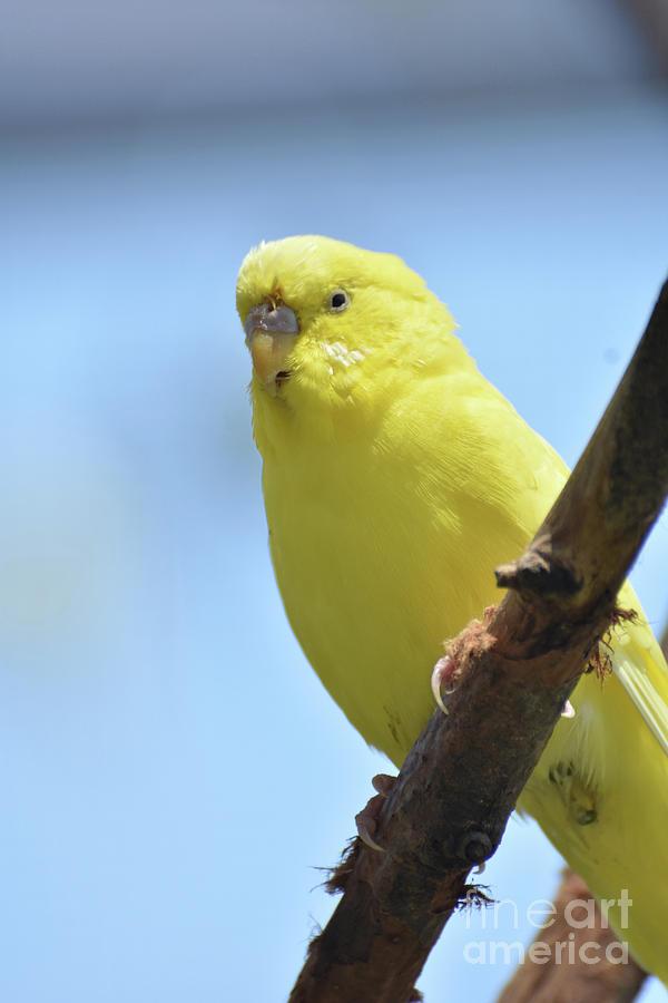 Budgie Photograph - Cute Little Yellow Parakeet In The Rainforest by DejaVu Designs