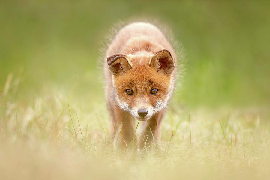 Fox Photograph - Cute Overload Series - Baby Fox Exploring The World by Roeselien Raimond